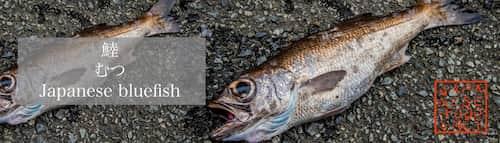 鯥 むつ(Japanese bluefish)