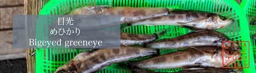 目光 めひかり(Bigeyed greeneye)