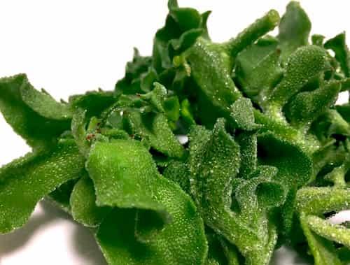 水晶菜 アイスプラント(ice plant)
