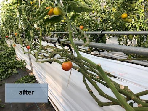 トマト栽培~下葉掻き~