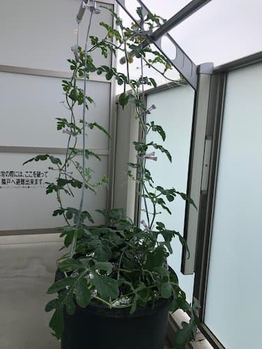 ベランダスイカ奮闘記~リベンジ~
