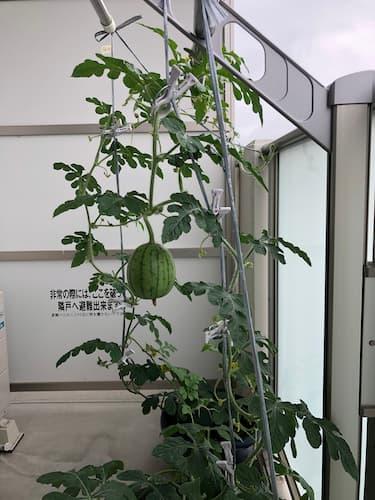 ベランダスイカ奮闘記リベンジ