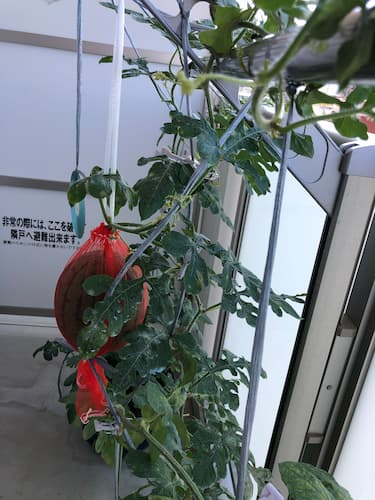 ベランダスイカ奮闘記